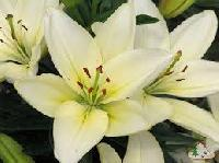 Asiatic Lily Flowers