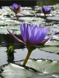 Aquatic Plant