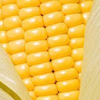 Indian Yellow Corn Maize