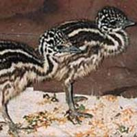 Emu Bird Chicks