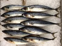 indian frozen mackerel