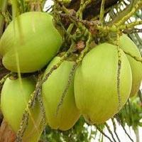 Tender Coconut
