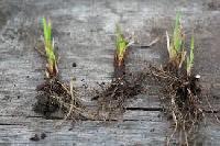 Calamus Roots