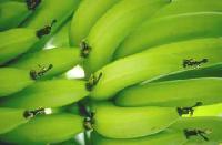 Banana - 01
