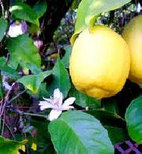 Lemon - 02