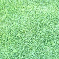 Mexican Carpet Grass