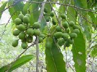 ashok seeds
