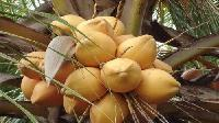 Thunder Coconuts