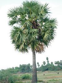 Palm Jaggery (palm Sugar)