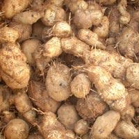 Plectranthus Rotundifolius( Hausa Potato)
