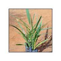 Date Palm Plants