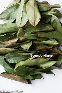 Soursop - Manufacturers, Suppliers & Exporters in India Soursop Tree In Kerala