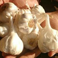 Farm fresh garlic