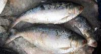 Frozen Hilsa Fishes