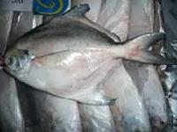 Frozen Silver Pomfret Fishes