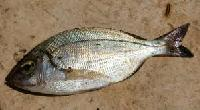 Black Sea Bream