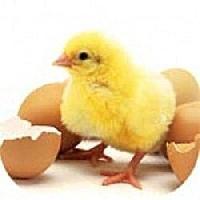 Poultry Farm Chicks