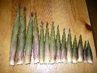 Bamboo Shoot