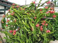 Red Dragon Fruit Plants
