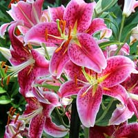 Fresh Asiatic Lily Cut Flower