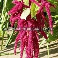Fresh Amaranth Flowers