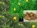 Kaner Ornamental Tree Seeds