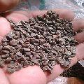 kenaf plant seed