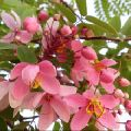 Pink cassia tree seeds