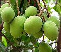 Ramkela Mango Plant
