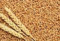 Wheat Seed