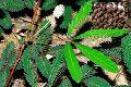 Shameplant Seed