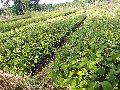 Nursery Ber Plants