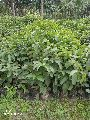 Fresh Guava Plants