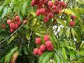 Nursery Litchi Plants