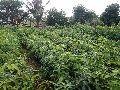 Nursery Mango Plants