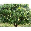 Natural Mango Plants