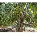Organic Coconut Plants