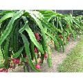 Organic Dragon Fruit Plants
