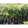 Organic Mango Plants