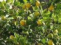 Organic Seedless Lemon Plants
