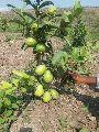 Thai 7 Guava Plants