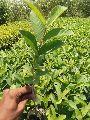 Thai Guava Plants