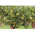 Yellow Seedless Lemon Plants