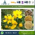 Nutritional Supplements Cassia Gum Tora Powder