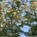 acacia leucophloea safed babul kikkar tree seed