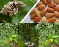 Karanj forestry tree Seed
