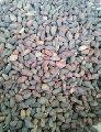neem tree seed