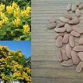 Peela gulmohar Peltophorum pterocarpum tree Seed
