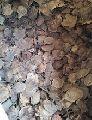 red sandalwood saunderswood tree seed
