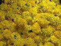 Fresh Yellow Marigold Cut Flower